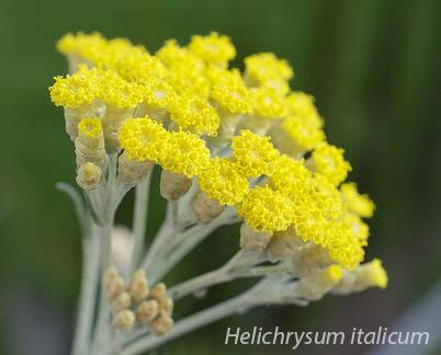 Helichrysum italicum Organic Radiance Skincare night cream